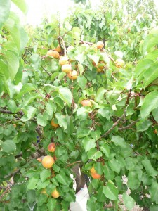 "Feng Shui abundance - A small section of our ""dwarf"" apricot tree after 90% of the fruit has been picked."